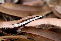 Unidentified Lizard in Iron Range, Cape York, Australia