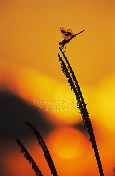 Four-spotted Pennant, Brachymesia gravida, adult at sunrise, Welder Wildlife Refuge, Sinton, Texas, USA