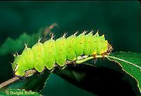LE41-024b  Polyphemus Moth - caterpillar eating - Antheraea polyphemus