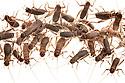 Captive bred Scaly Crickets (Pseudomogoplistes vicentae) photographed on a white background. England, UK. Captive.