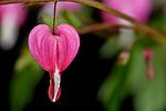 Bleeding Hearts, Family Fumariaceae, Genus Dicentra, Species spectablilis, wonderful yard and garden spring flowering, perennial, native to eastern Asia.  Other varieties grow wild along the U.S. west coast.