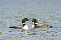 """Nothing says """"I Love You"""" like a public display of affection by two Loons on Wachipauka Pond."""