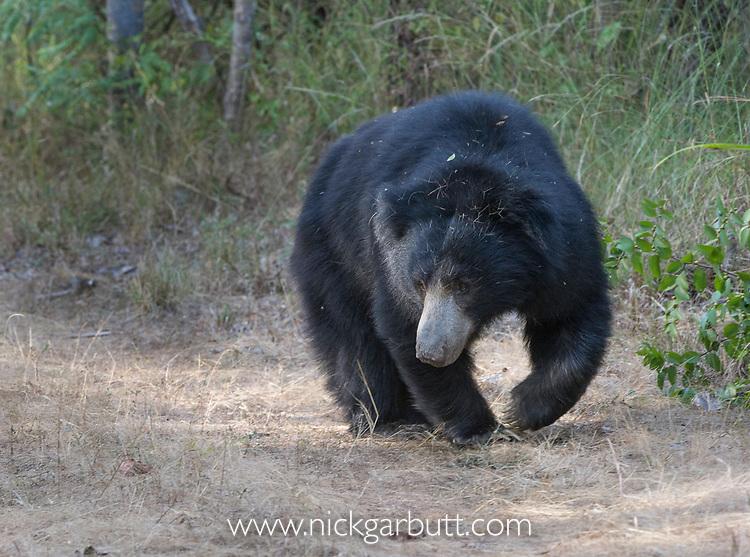 Adult sloth bear (Melursus ursinus). Satpura National Park, India.