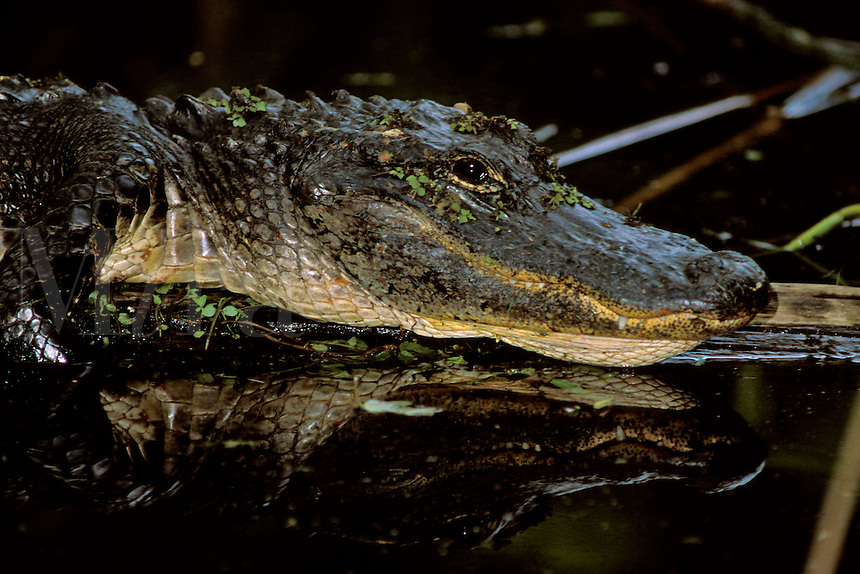 American Alligator (Alligator mississippiensis) resting on a log, with reflection