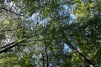 Germany, beech forest / DEUTSCHLAND, Laubbaeume Buche, Wald in der Lueneburger Heide