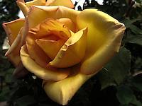 BOGOTÁ-COLOMBIA-15-01-2013. Rosa amrilla Puerta del sol. Yellow rose Sun gate.  (Photo:VizzorImage)