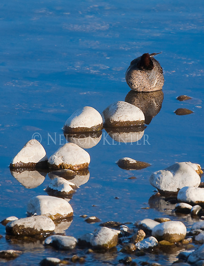 A Green Winged Teal roosting in water near rocks blends into the surroundings