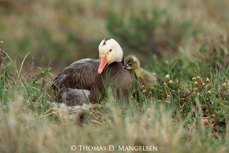 A blue gosling leans up against its mother sitting on its nest.