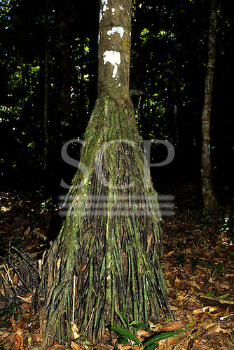 Amazon, Brazil. Tree with prop roots in the rasinforest understorey.