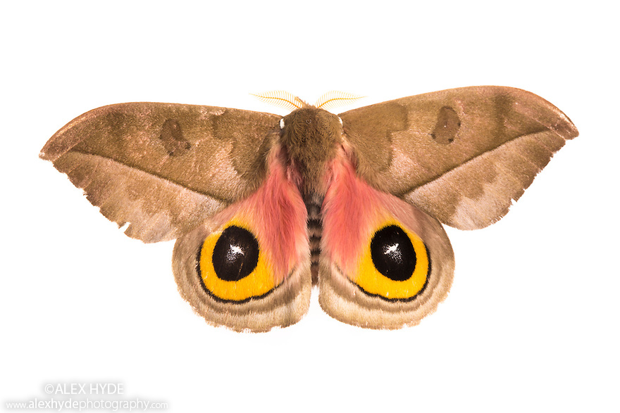Sequence 2 of 2 - Silk Moth {Automeris zugana} with wings open to reveal eyespots, a means of deterring predators. Photographed on a white background in mobile field studio. Cordillera de Talamanca mountain range, Caribbean Slopes, Costa Rica. May.