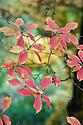 Autumn foliage of Enkianthus campanulatus, early November.