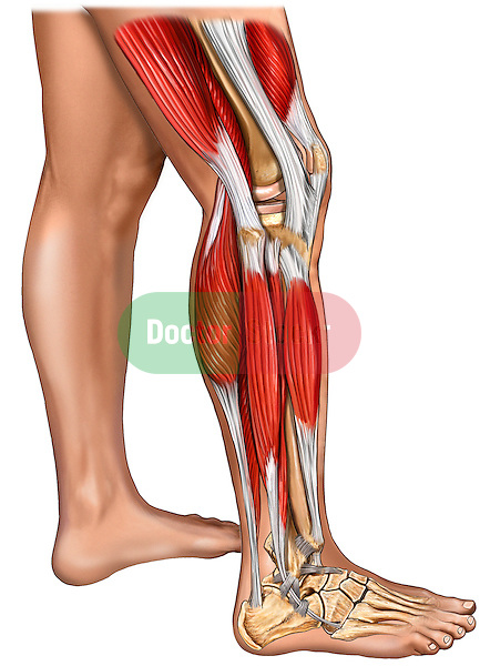 This medical illustration pictures the lower extremities of a male from the right side. The left leg is shown with skin whereas the right leg features the muscles of the knee: gastrocnemius, biceps fermoris, vastus intermedialis, vastus lateralis, iliotibial tract, tibialis anterior, extensor digitorum longus, and fibularis (peroneus) longus. The bones of the knee, ankle, and foot can be seen under the muscles.