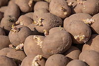 Chitted Maris Piper potato seed - Lincolnshire, April