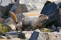 Hoary Marmot (Marmota caligata) in alpine area of Cascade Mountains, Pacific Northwest.  Summer.