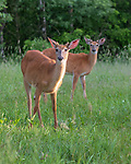 Two young white-tailed bucks in a northern Wisconsin meadow.