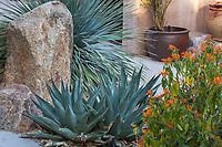 Shark Skin Agave (Agave victoriae-reigina x A. lechuguilla) in Living Desert, Palm Springs, Ca.