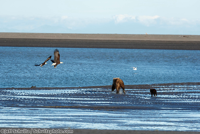 Brown Bear sow and spring cub run toward two bald eagles on the sand and shore of Cook Inlet in Lake Clark National Park.  Silver Salmon Creek area. Western Alaska  Summer<br /> <br /> Photo by Jeff Schultz/  (C) 2020  ALL RIGHTS RESERVED