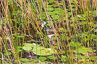 Comb-Crested Jacana, Mareeba Wetlands, Queensland, Australia