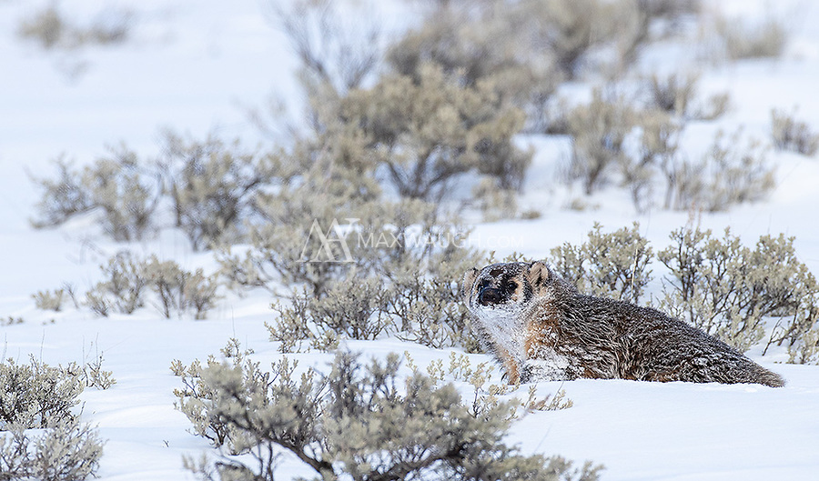 This was my first time seeing an American badger in winter. This one was active for several days, and at one point a second badger was seen further down in the Lamar Valley.