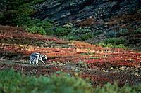 Gray or timber wolf (Canis lupus), Alaska, Fall.