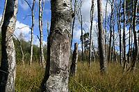GERMANY, lower saxonia, Forest / DEUTSCHLAND, Niedersachsen, Lüneburger Heide, Wald und Moor, Ottermoor, tote Birken durch Rindenbeschädigung