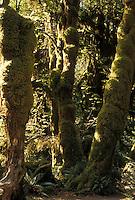 AJ3666, Olympic National Park, tree, rainforest, Hoh Rainforest, Olympic Peninsula, Washington, Hoh Rainforest in Olympic National Park in the state of Washington.