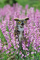 Great horned owl resting among wildflowers