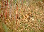 Leopard among grasses in Mala Mala.
