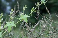 Stachelgurke, Gelappte Stachelgurke, Igelgurke, Echinocystis lobata, wild cucumber, prickly cucumber, bur cucumber