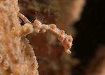 Baby Barbiganti seahorse. Pygmy Seahorse