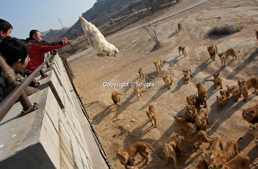 Visitors feed lions with live animals in the Beijing Badaling Safari World, China. The park sells visitors live animals in fixed price, chicken RMB30, sheep RMB300 and cow RMB3,000 in order to feed the lions. ..PHOTO BY WONG  / SINOPIX