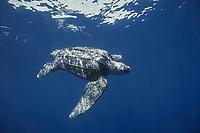 leatherback sea turtle, Dermochelys coriacea, Mexico, Pacific Ocean
