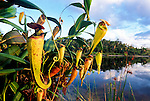 Madagascar Pitcher Plants (Nepenthes madagascariensis). Pangalanes Canal, East Madagascar