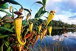 Madagascar Pitcher Plants (Nepenthes madagascariensis). Pangalanes Canal, East Madagascar