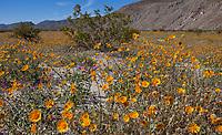 Desert Sunflower, Geraea canescens, wildflowers on desert floor of Sonoran Desert at Anza Borrego California State Park spring superbloom