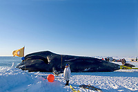 48 foot 8 inch bowhead whale, Balaena mysticetus, caught by a whaling crew in the Chukchi Sea, Arctic Alaska