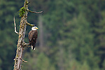 Bald Eagle (Haliaeetus leucocephalus). Great Bear Rainforest, British Columbia, Canada.