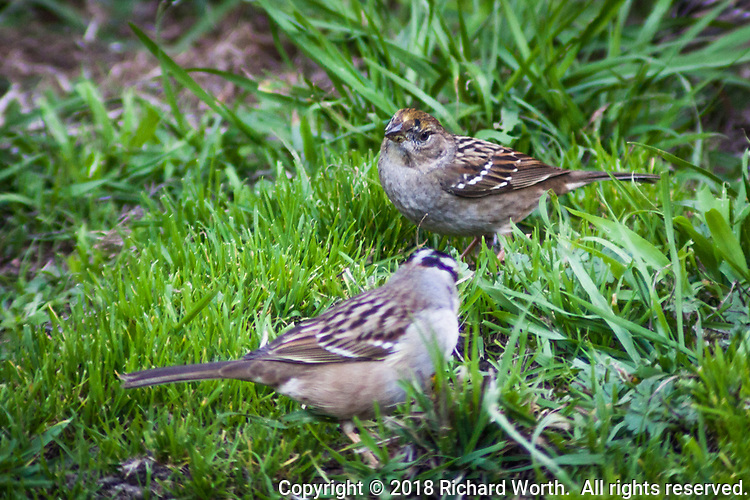 With an identifying yellow dab on its forehead, a Golden-crowned sparrow joins a White-crowned sparrow foraging among the green grass of backyard in the San Francisco Bay Area.