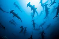 scalloped hammerhead sharks, Sphyrna lewini, Galapagos Islands, Ecuador, Pacific Ocean