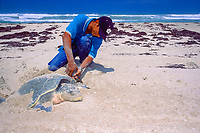 biologist attaches metal tag to flipper of nesting Kemp's ridley sea turtle, Lepidochelys kempii (endangered), Rancho Nuevo, Mexico (Gulf of Mexico), Atlantic Ocean
