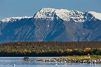 Brown bear on the shores of Naknek lake, Mount Katolinat in the background, Katmai National Park, Alaska.