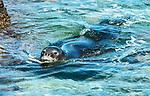 he Hawaiian monk seal is one of the most endangered species on the planet - only about 1,200 are estimated to be in existence. <br />