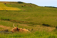 """ancient breed of highland cattle known as """"kyloe."""""""