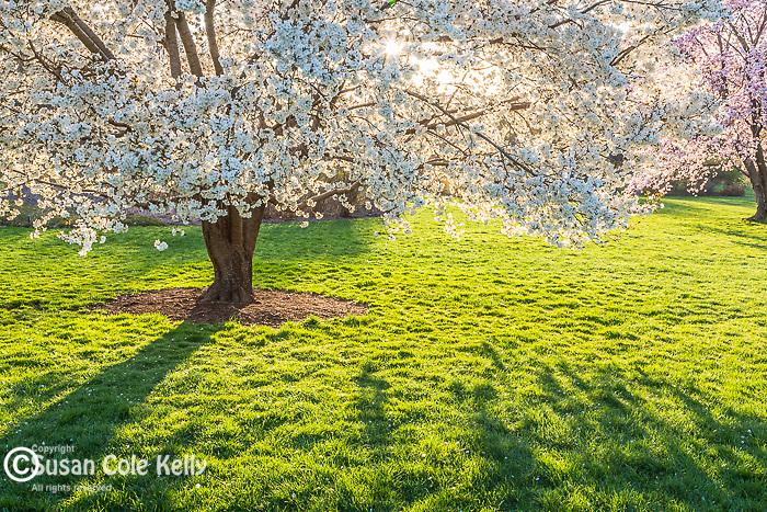Washi-No-O Cherry blossoms at the Arnold Arboretum in Jamaica Plain, Boston, Massachusetts, USA