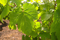 A Malbec vine with a leaf that is backlit. the leaf has lobes that are less separated than for example on Merlot  Chateau Bouscaut Cru Classe Cadaujac  Graves Pessac Leognan  Bordeaux Gironde Aquitaine France