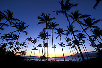 Grove of coconut palms with sunset at Kapalua, Maui, Hawaii.