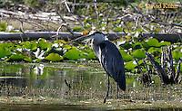 0807-06yy  Great Blue Heron - Ardea herodias © David Kuhn/Dwight Kuhn Photography