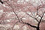 The Jefferson Memorial seen through a veil of Cherry Blossoms in Washington, DC, USA