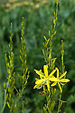 Asphodeline liburnica, also known as Jacob's rod, end June.