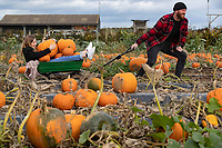 BNPS.co.uk (01202) 558833. <br /> Pic: CorinMesser/BNPS<br /> <br /> Pictured: Acacia Jacobs, 11, picks pumpkins with her uncle Liam Jacobs. <br /> <br /> P p p pick up a pumpkin...<br /> <br /> Families flock to Sopley Farm near Christchurch, Dorset to pick out a pumpkin in time for halloween.